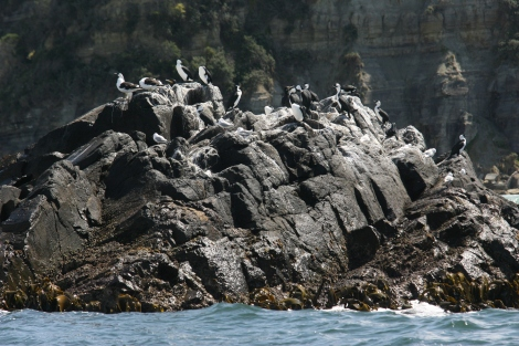 Shearwaters and cormorants share this rocky outcrop near Bruny Island