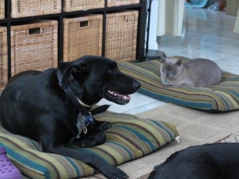 Jasmine on one dog bed, Puska on the other