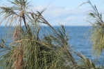 Looking out on Bramble Bay through a coastal casuarina