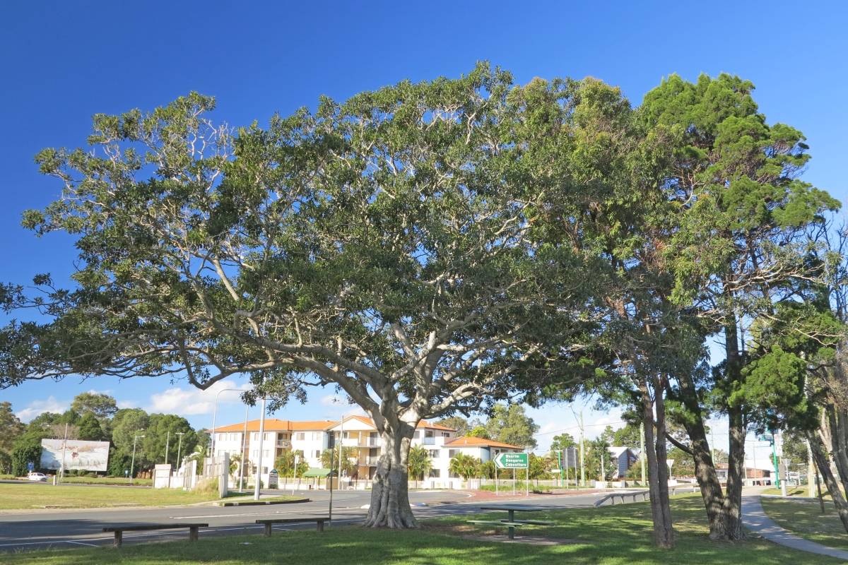 Tree at roundabout just off Bribie Island bridge