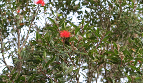 First blooms appear on a Fiji fire