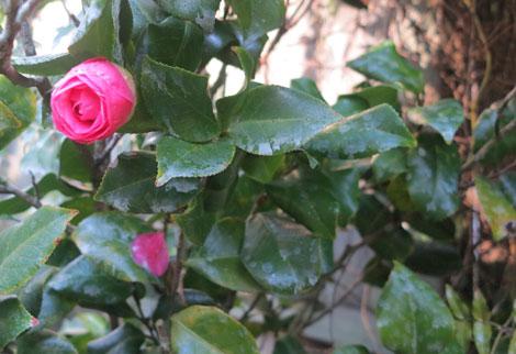 pink camellia japonica