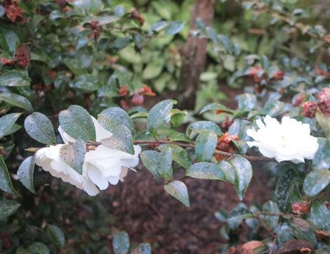 white Mine No Yuki sasanqua camellia