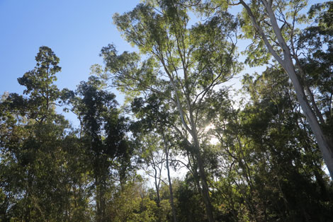 sun through eucalypts on northern side of house