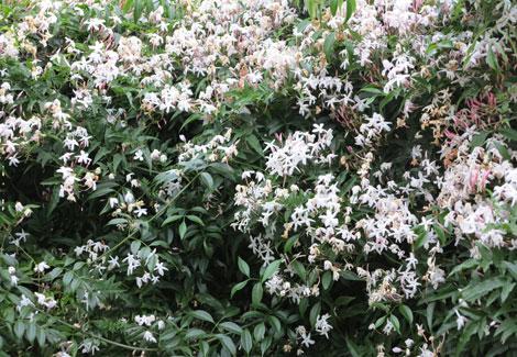 star jasmine in flower