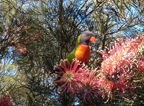 lorikeet feeding on grevillea flower