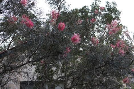 grevillea in flower