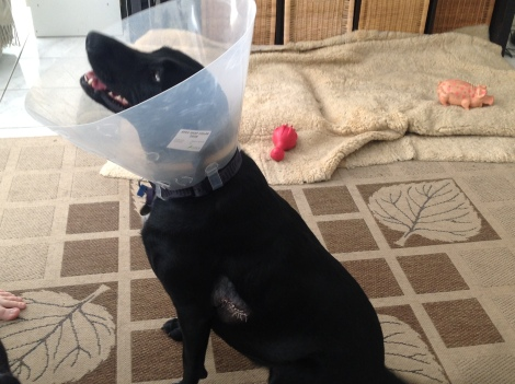 Jasmine wearing her 'cone of shame' after her accident
