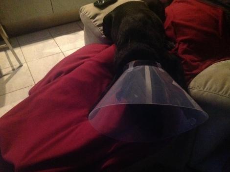 Jasmine asleep in her cone of shame